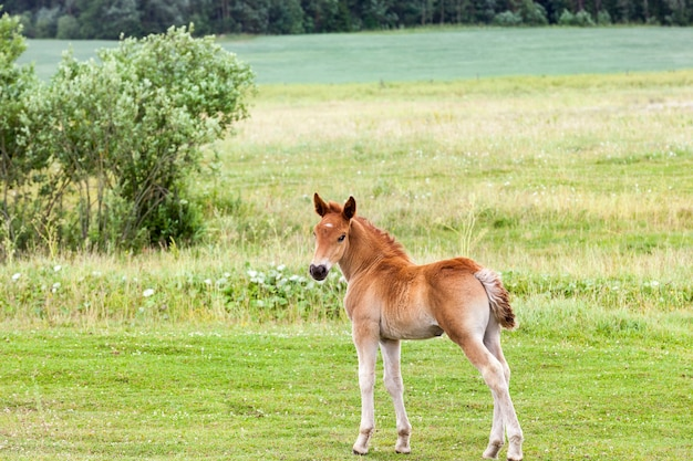 One brown little baby boy grazing on a meadow with green grass closeup