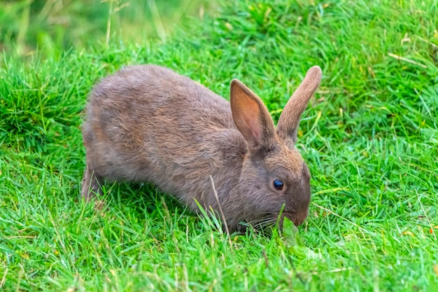 One brown rabbit sitting in grass and feeds on carrots