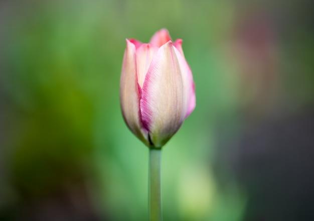 緑の背景をぼかした写真の中央にピンクのチューリップの1つの芽