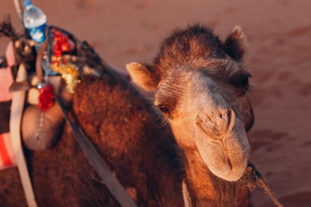 砂漠のサハラ砂漠で1つのラクダ。砂と太陽。
