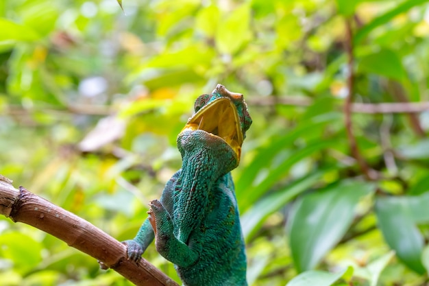 One chameleon on a branch in the rainforest of madagascar