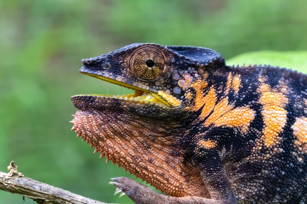 One chameleon in close-up in a national park on madagascar