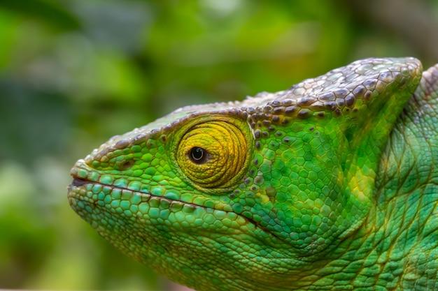 Один хамелеон крупным планом в национальном парке на мадагаскаре