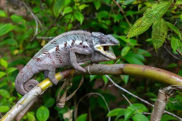 マダガスカルの熱帯雨林の枝に沿って移動するカメレオン