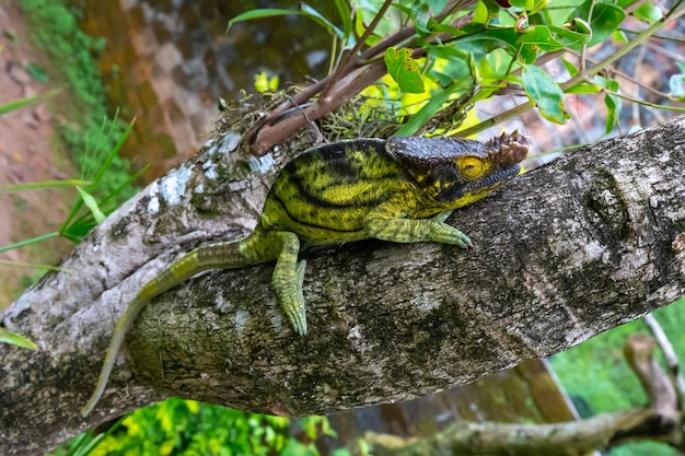 One chameleon moves along a branch in a rainforest in madagascar
