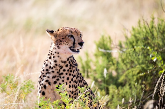 One cheetah in the grass landscape between the bushes Premium Photo