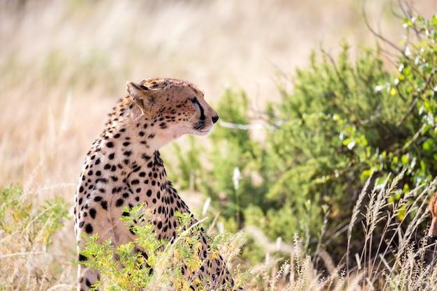 Один гепард в травяном пейзаже между кустами