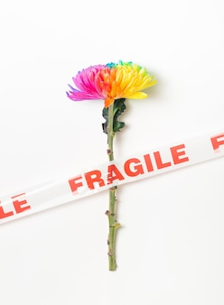 One colored chrysanthemum taped on a white background lgbt concept