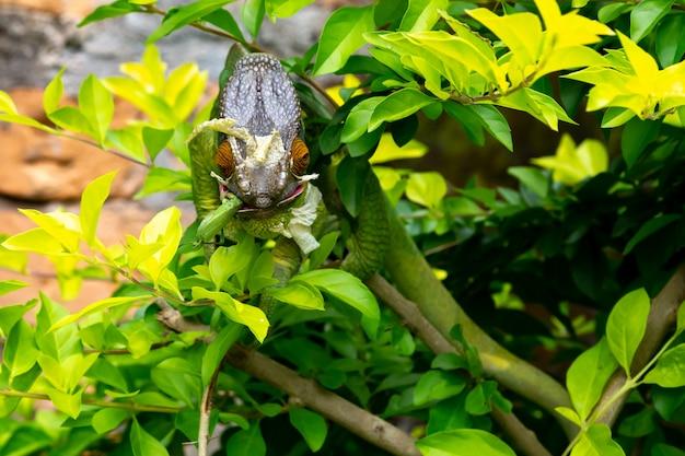 マダガスカル島の国立公園の枝に1つのカラフルなカメレオン