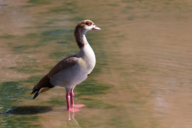 Одна красочная утка стоит в воде
