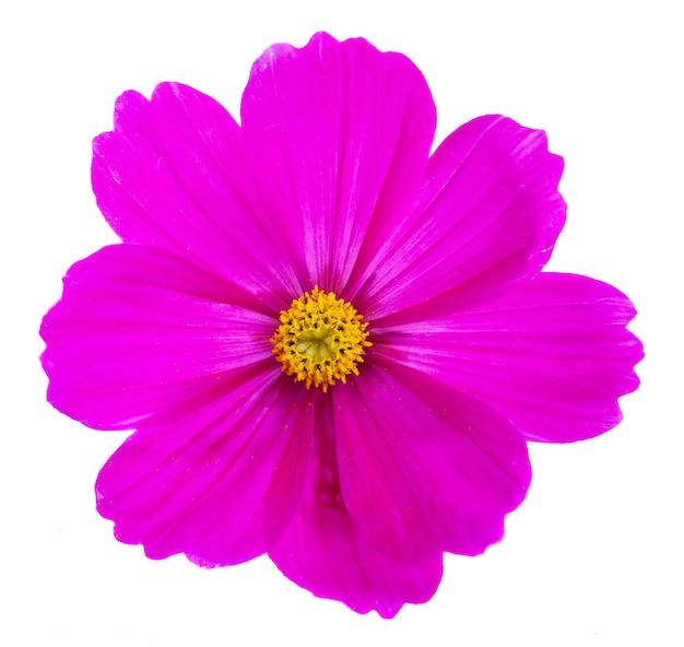 Один темно-розовый цветок космоса, изолированные на белом фоне
