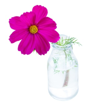 One cosmos dark pink flower in vase isolated on white