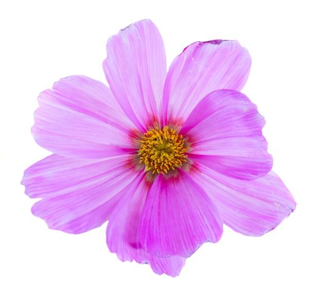 Один розовый цветок космоса, изолированные на белом фоне