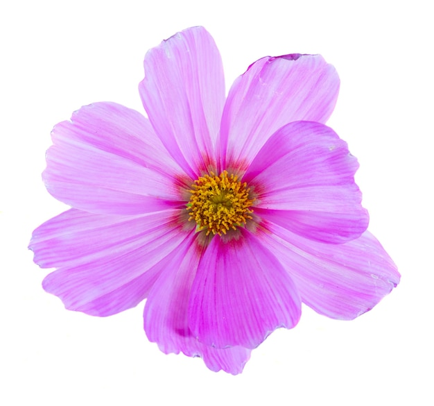 One cosmos pink flower isolated on white