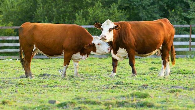 Одна корова лижет другую корову. коровы пасутся на пастбище в деревне.