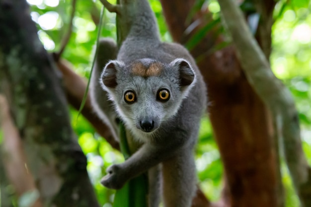 One crown lemur crawls on the branches of a tree