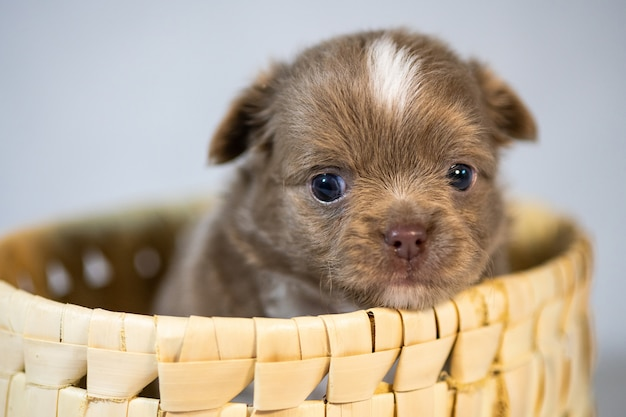 One cute chihuahua puppy dog. funny little puppy in a basket. isolated white background.