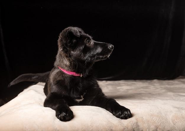 Один милый маленький черный щенок лежит на мягком розовом покрывале на черном фоне