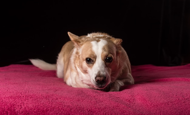 Одна милая собачка лежит на нежно-розовом покрывале на черном фоне