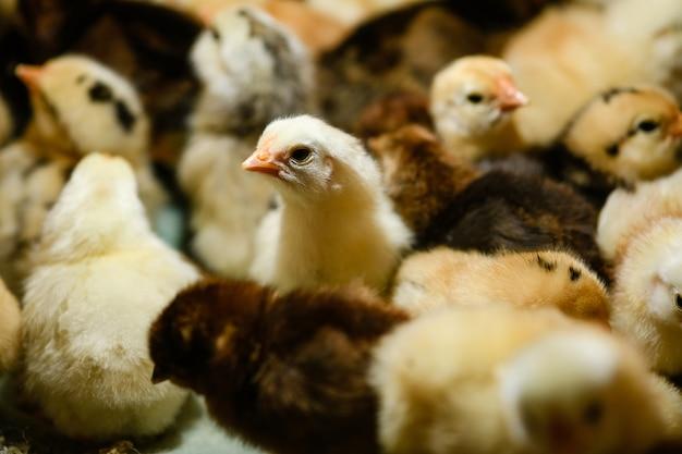 Один милый новорожденный маленький желтый цыпленок с клювом вверх смотрит в камеру на птицеферме, выращивая цыплят