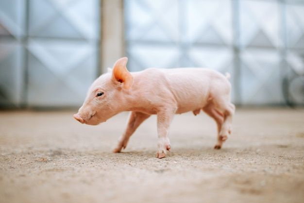 One cute pink baby pig.