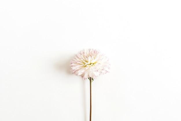 白い背景の上の1つのダリアの花。フラットレイ、上面図。