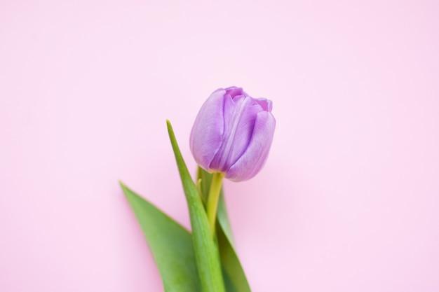 Один нежный пион-сиреневый тюльпан с зелеными листьями на розовой поверхности.