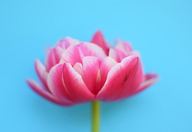 Один нежный пионовидный розовый тюльпан крупным планом на синей поверхности