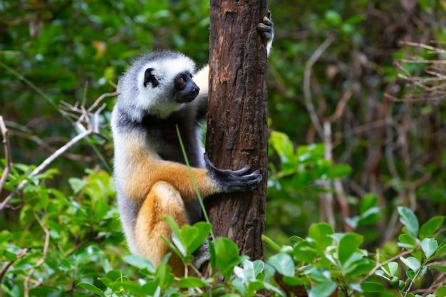 Одна диадема сифака в естественной среде тропического леса на острове мадагаскар.