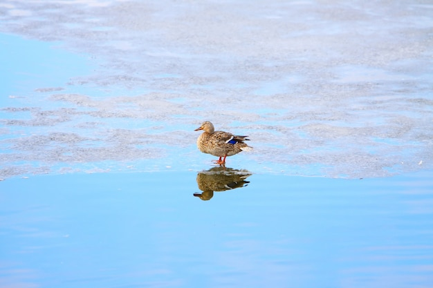 One duck on ice