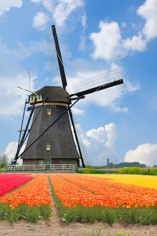 One dutch windmill over tulips field in sunny day, netherlands