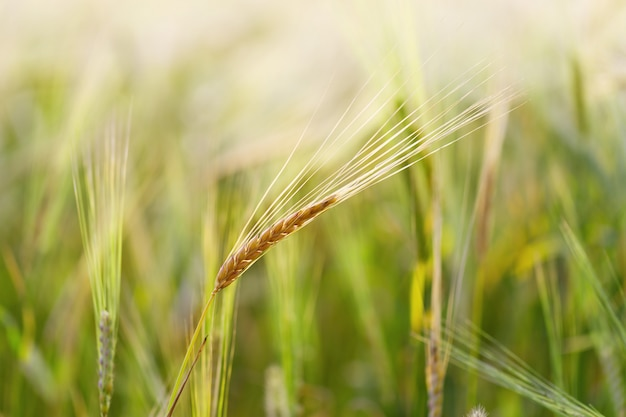 One ear of rye close up grows on field of cereal crops.