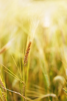One ear of rye growing on field under rays of sun