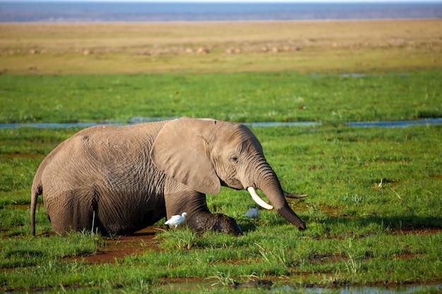 ケニアのサファリで1頭の象が沼に立って草を食べています