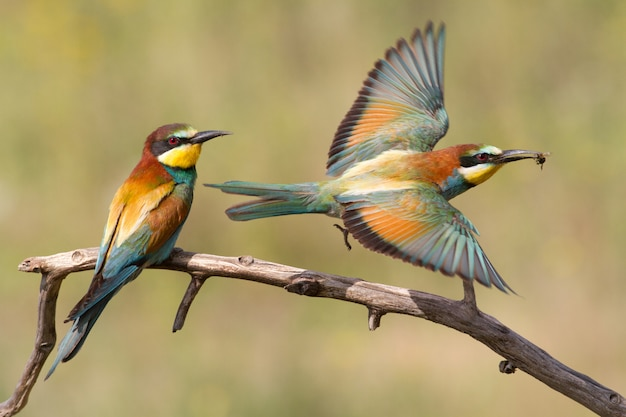 One european bee-eater sits on a branch, the second hunts for prey