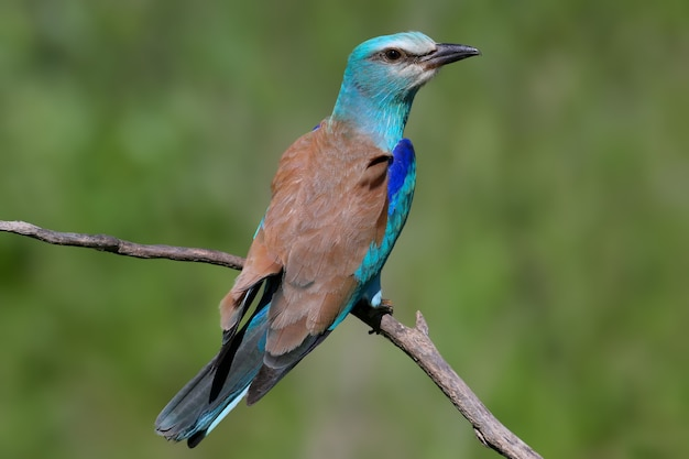 One european roller sits on a tree