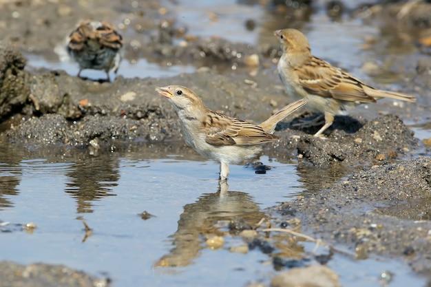 집 참새의 한 암컷은 큰 웅덩이에서 물을 마신다.