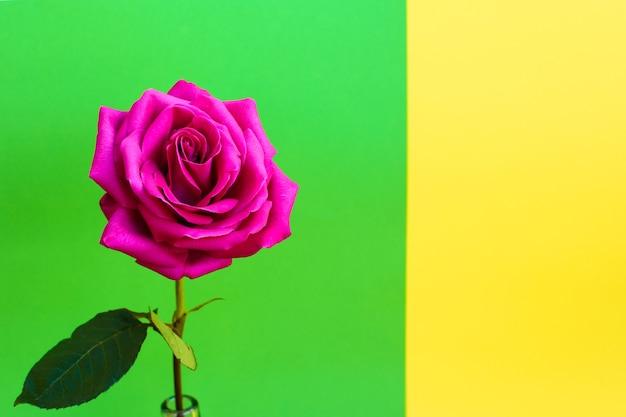 녹색-노란색 배경에 밝은 아름다운 분홍색 장미 한 송이.