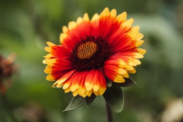 하나의 꽃은 gaillardia pulchella입니다.