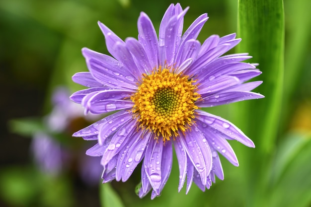 One flower lilac daisy in the garden on green