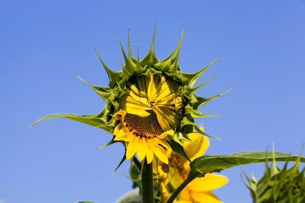 油糧作物を栽培するために耕作している、畑にある美しい黄色の毎年恒例のヒマワリの花1つをクローズアップ