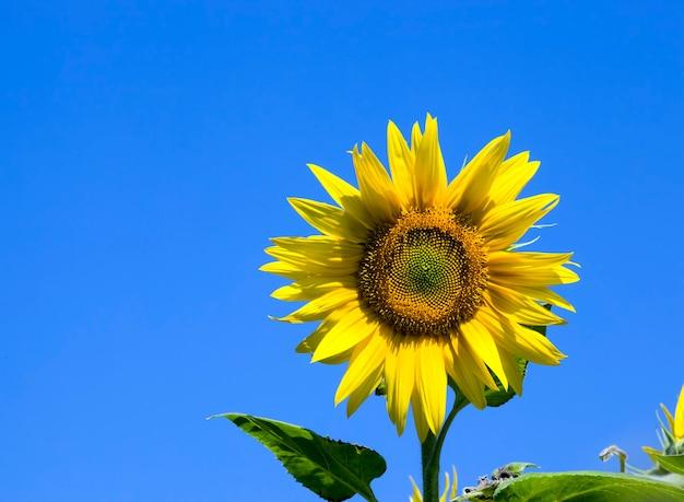 油糧作物を栽培するために耕作している、畑にある美しい黄色の一年生ヒマワリの一輪の花をクローズアップ