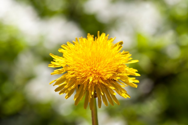 One flower of yellow dandelion on a background of white flowers growing in the grass