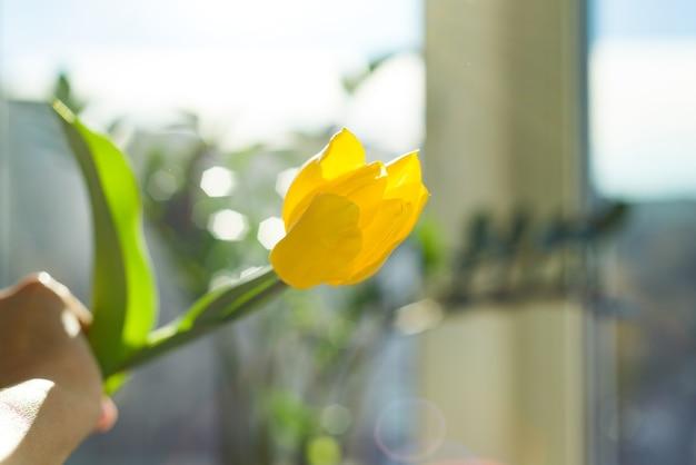 Один цветок желтый тюльпан в женской руке фон голубое небо и закат, весенний курортный сезон