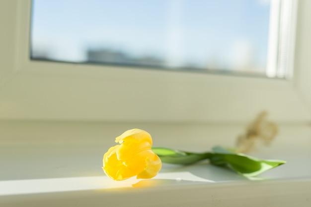 Один цветок желтый тюльпан с лампочкой на подоконнике, солнечный весенний день