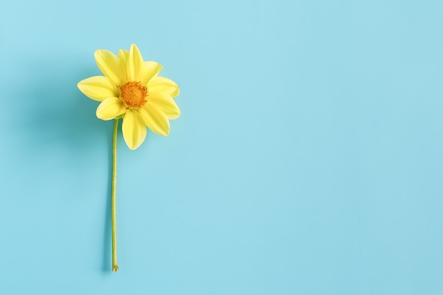 One fresh natural yellow flower on blue background. concept hello spring, good morning. top view creative flat lay