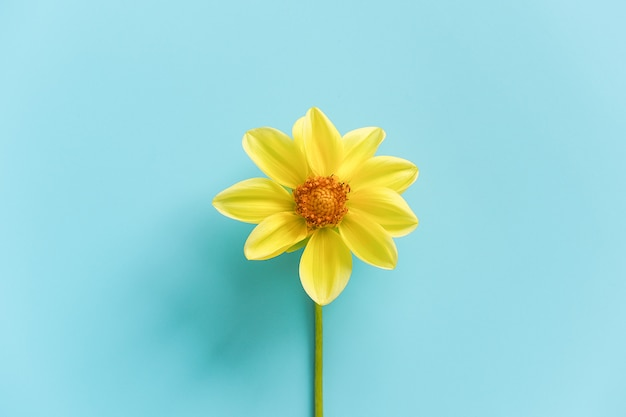 One fresh natural yellow flower, close-up. concept hello spring, good morning.