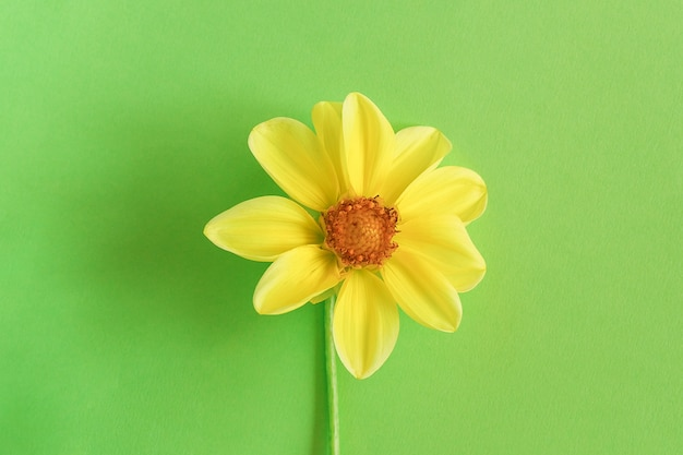 One fresh natural yellow flower on green background, close-up. concept hello spring, springtime. top view creative flat lay copy space template for your design