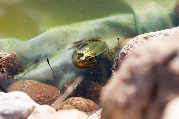 One frog swimming in the water of an artificial lake or swamp, the frog hides in the water and looks at the surface