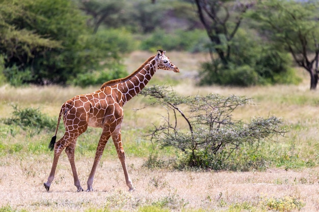 One giraffe walk through the savannah between the plants